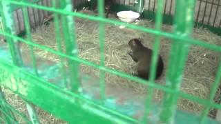 Агути. Зоопарк Сафари