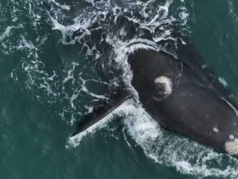Ballenas de Sudamérica / Foto-identificación Argentina & Ecuador