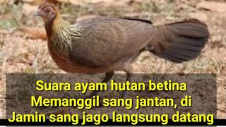Download Suara ayam hutan betina memanggil si jantan