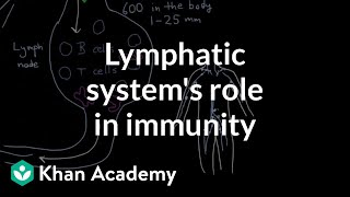 The lymphatic system's role in immunity | Lymphatic system physiology | NCLEX-RN | Khan Academy thumbnail