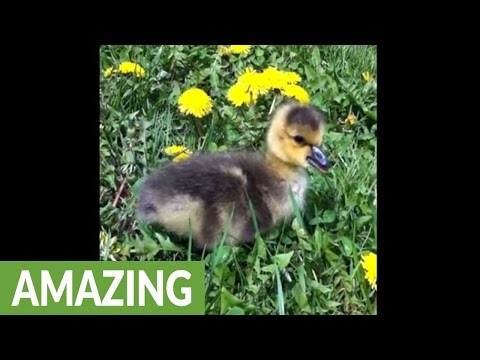 Newborn gosling left behind by parents finds foster home