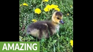 newborn-gosling-left-behind-by-parents-finds-foster-home