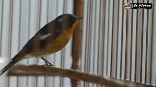 Burung Sikatan Mugimaki Pancingan Burung Macet