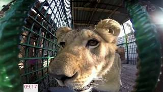 Спасенная неравнодушными людьми львица обживается в просторном вольере челябинского приюта для диких