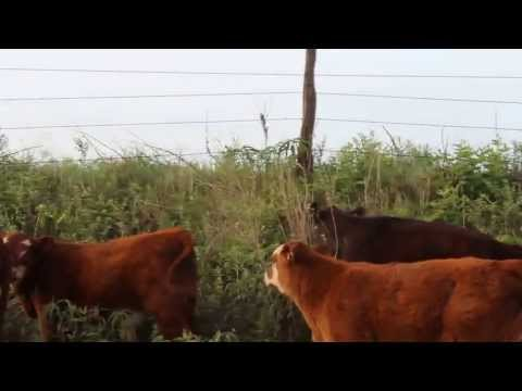 Cattle on Road in Area of Active Drilling West of Mulhall, Oklahoma