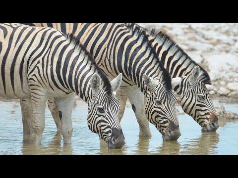 Zebra Of The Savannah