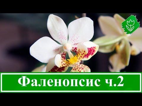 Фото орхидей фаленопсис, башмачок, каттлея и редкие орхидеи