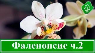 Орхидея фаленопсис – выращивание и размножение, болезни и вредители(Цветение орхидеи фаленопсис. Почему фаленопсис не цветет. Уход за фаленопсисом после цветения. Как размнож..., 2015-10-16T10:42:19.000Z)