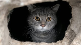 Gray cat came out of hole in the wall thumbnail