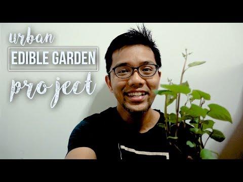 Urban Edible Garden Project - Okinawa Sweet Potato