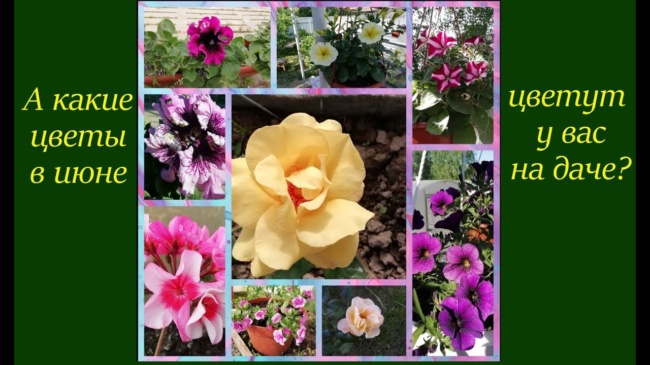 Что цветёт у меня на даче в начале июня.