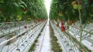 видео Выращивание помидор на гидропонике
