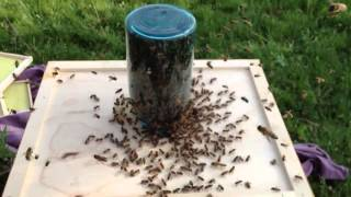 Using Mason Jar To Catch A Swarm
