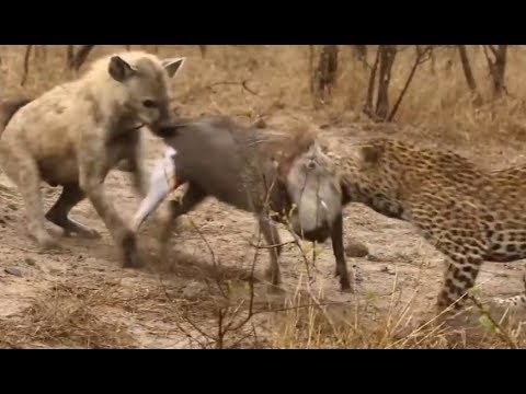 Leopard And Hyena Attack And Kill Warthog - Animals Attack