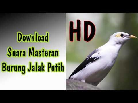 download suara masteran burung jalak putih full hd   youtube