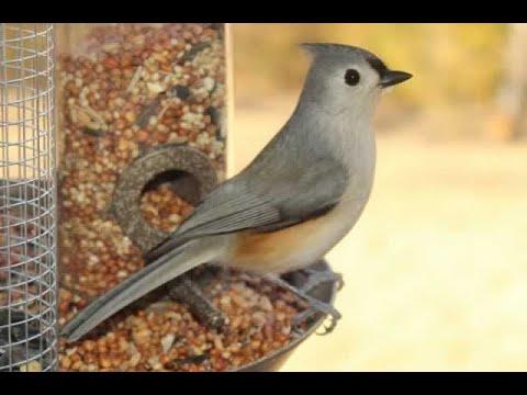 Texas Birds in Backyard Fountain Part 2 - YouTube