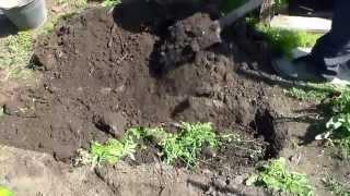 Посадка малины корневыми отпрысками(Один из способов посадки малины. Комментируйте, ставьте лайки., 2014-04-23T12:43:53.000Z)