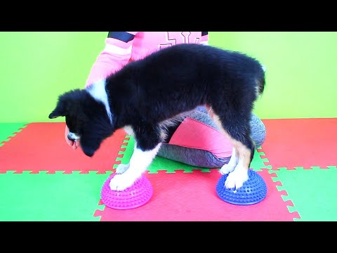 Trick Training with 12 Weeks old Border Collie Puppy