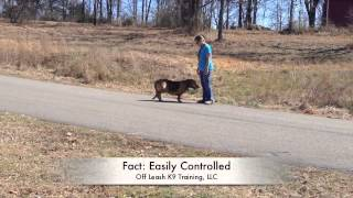 Can You Control A Hound On A Scent? Electronic Collar Training