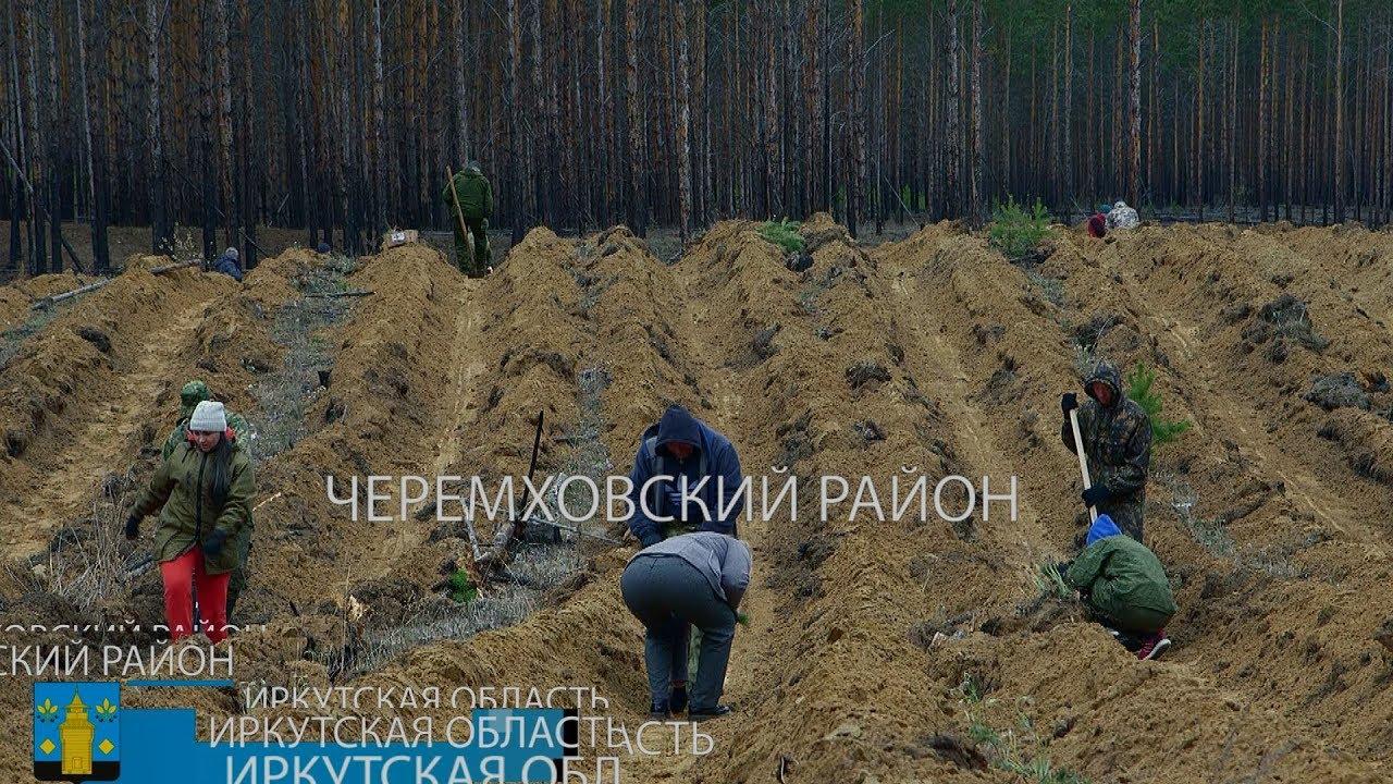 Почти четыре тысячи саженцев сосны высадили недалеко от Узкого Луга. Черемховский район.