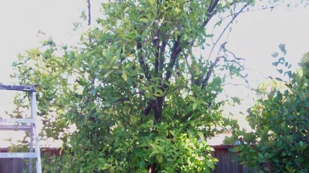 How to save a dying tree (Citrus)