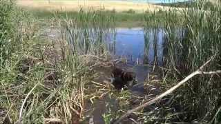 Комплексные состязания охотничьих собак. Караганда 2015.  Фильм четвертый.