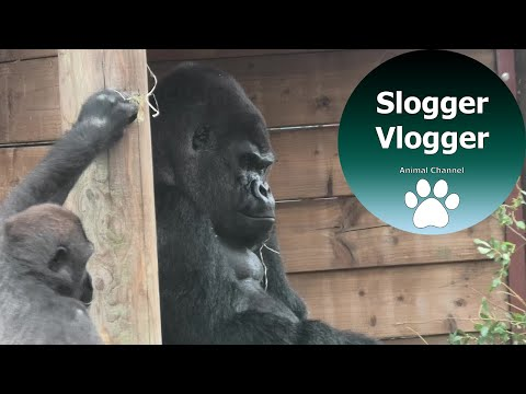 Silverback Gorilla Trying To Keep Calm As He Puts Up With Sons Antics