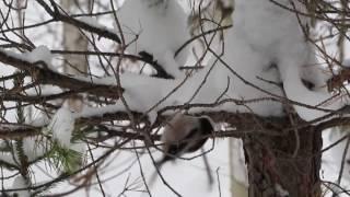 птицы Урала. длиннохвостая синица аполлоновка ( ополовник) ,клесты.