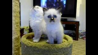 Lions Royale Ragdoll Sheenas  Kittens 8 Weeks Old