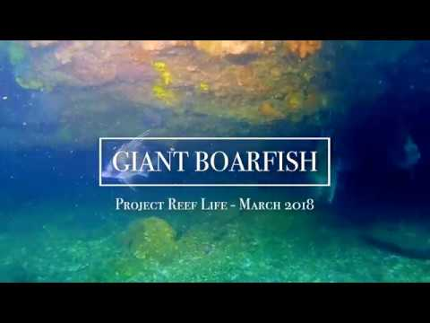 GIANT BOARFISH // PROJECT REEF LIFE - 03/18
