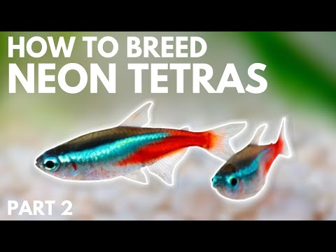 How To Breed Neon Tetras: Hatching The Eggs (Part 2)