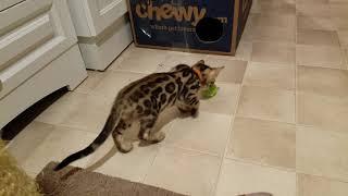 Ferocious Bengal Kitten ;-)