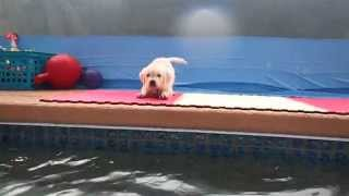 English Cream Golden Retriever's First Swim - Mr  Sassy Puppy Pants!