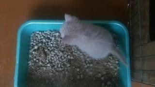Британские котята июль 2016