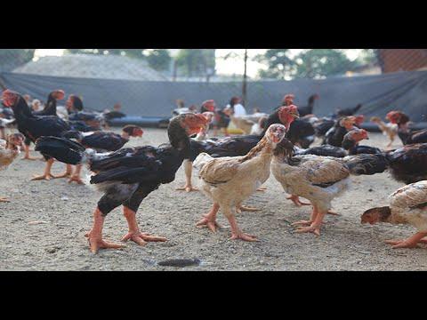 Cách làm giàu từ chăn nuôi - Kỹ thuật nuôi gà lai Đông Tảo