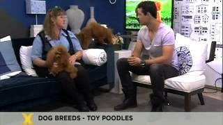 Bobtail:  Toy Poodle Breed  (12.09.2012)
