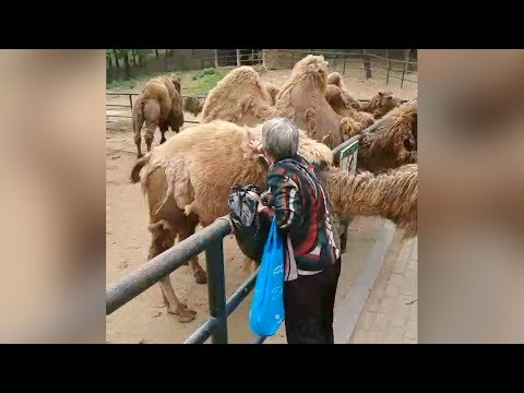 Woman at northeast Chinese zoo filmed pulling fur off camel