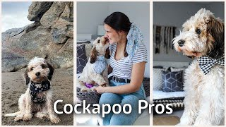 WHY YOU SHOULD GET A COCKAPOO: 10 reasons why cockapoos make the perfect dog for most households