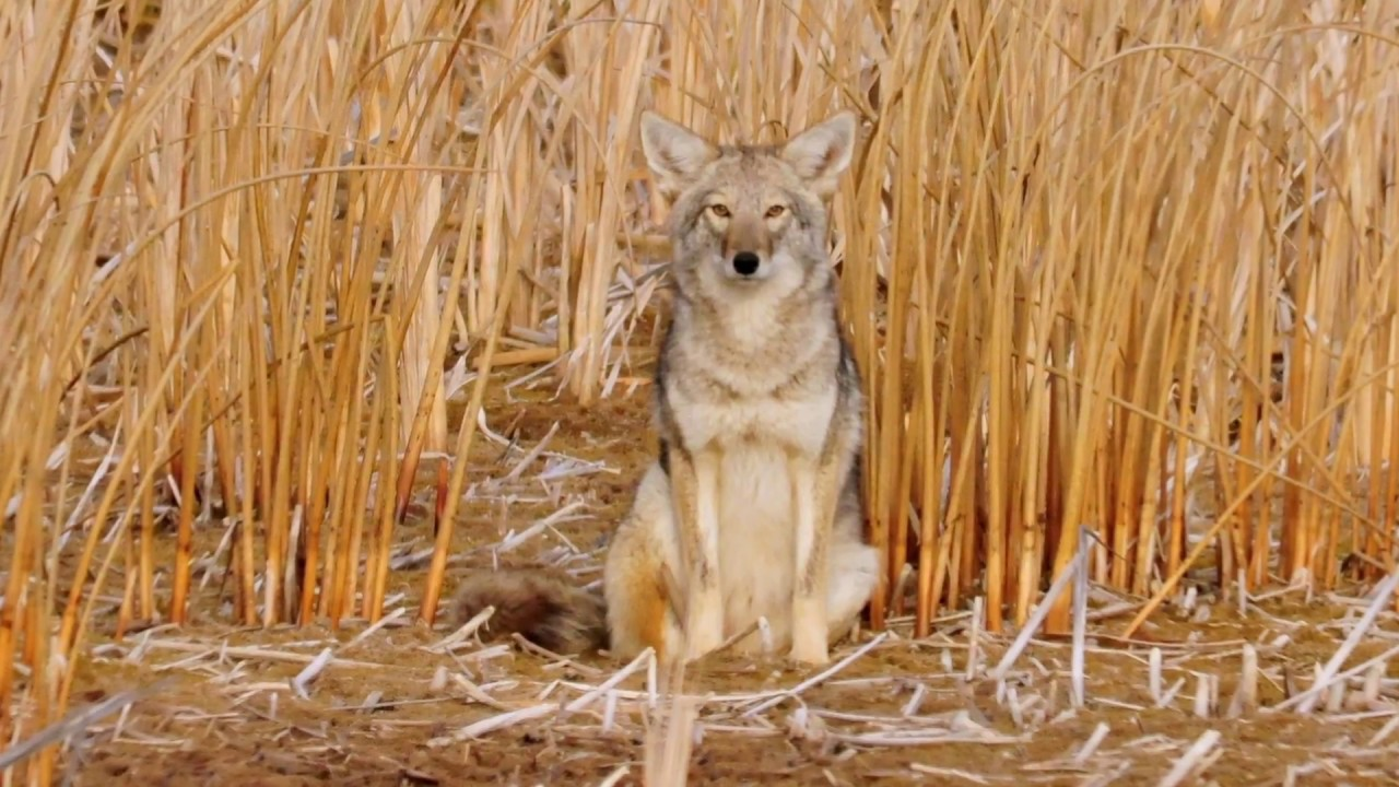 Coyote, bobcat, fox – Humane Wildlife Control