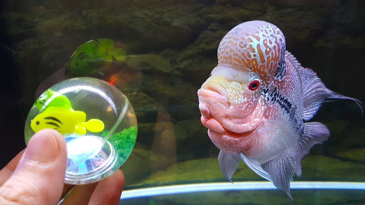 7-months-of-flowerhorn-growth-and-playing-with-house-cat-curry