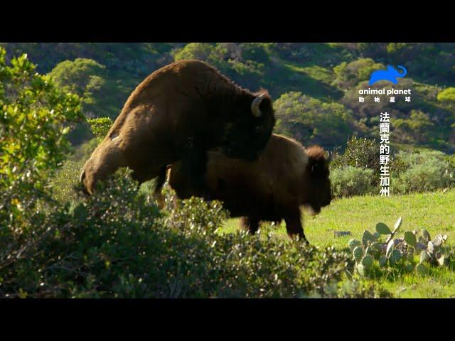 交配三秒俠?免前戲、免調情,開始即結束——美洲野牛式性愛|動物星球頻道