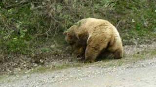 Bear Attack in Denali Alaska 2008