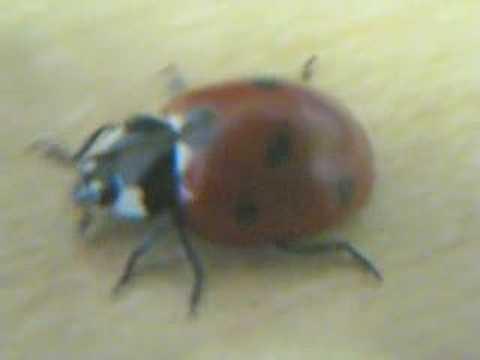 Ladybug closeup video