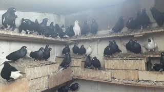 Bursa oynar güvercini terzi ismetin kafesi ziyaret...