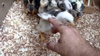 por que se justifican las peleas de gallos - Gallos Pedraglio