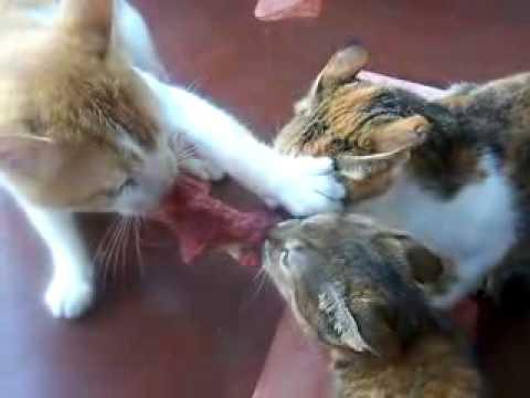 Коту мясо видео
