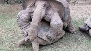 Giant Aldabra Tortoises Having Sex - La Vanille Nature Park Mauritius