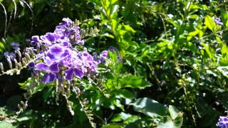 Duranta erecta blue - purple flowers Geisha Girl goldy green - HD 05