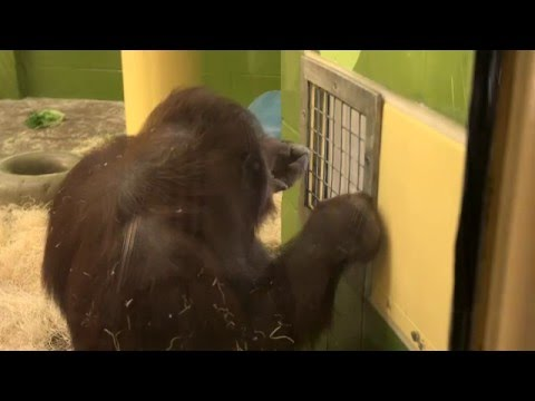 Orangutans Using Touch Screens