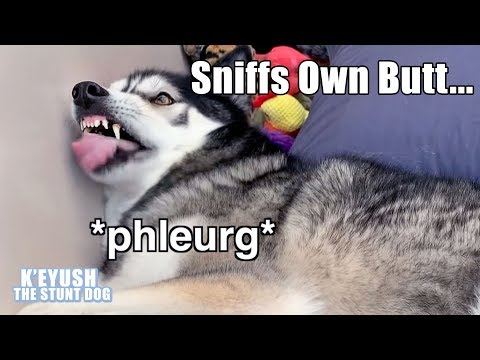 Husky Argues About If His Butt Smells! He Gagged After Sniffing It!